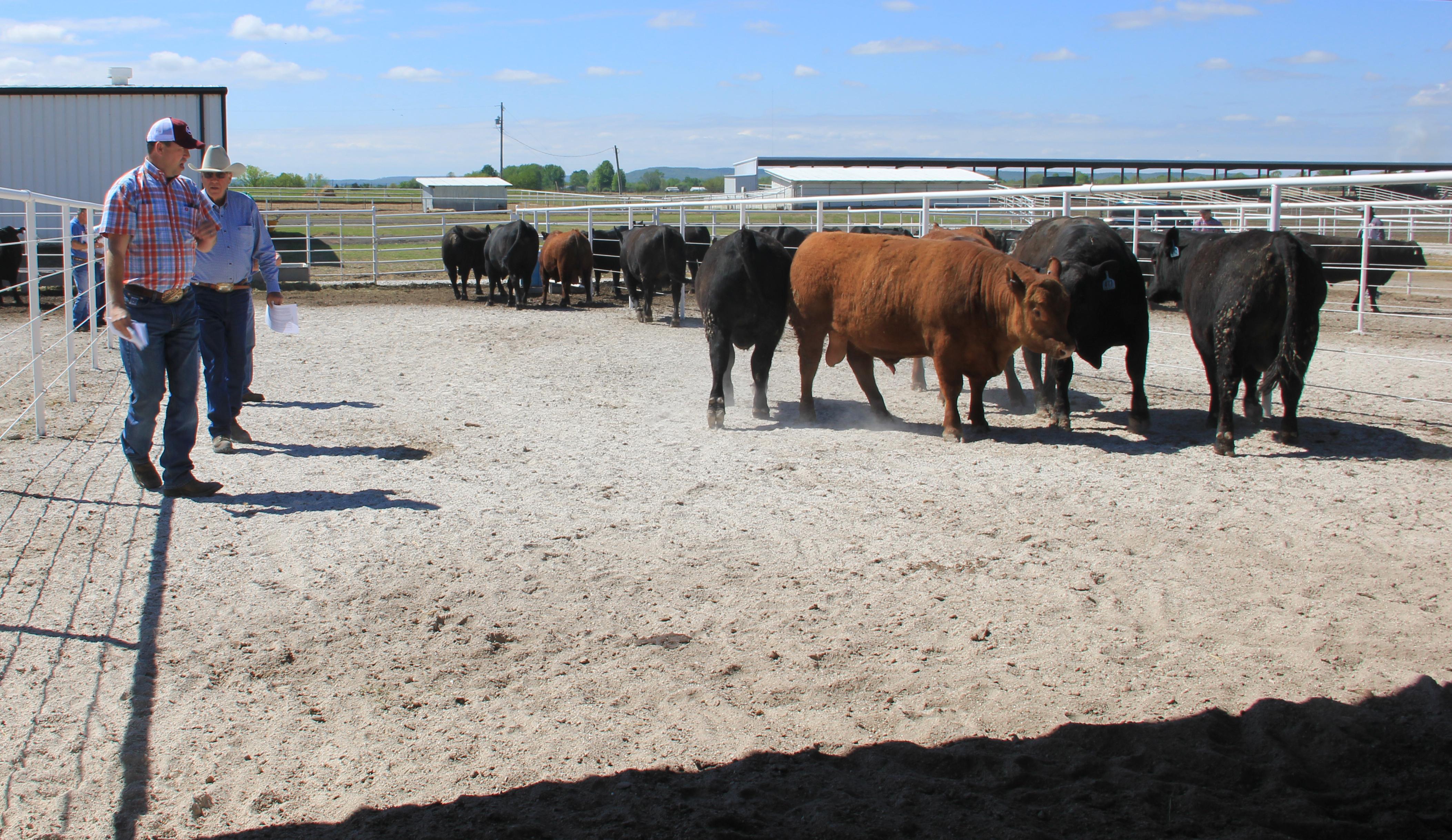 Bull Sale 4.14.16